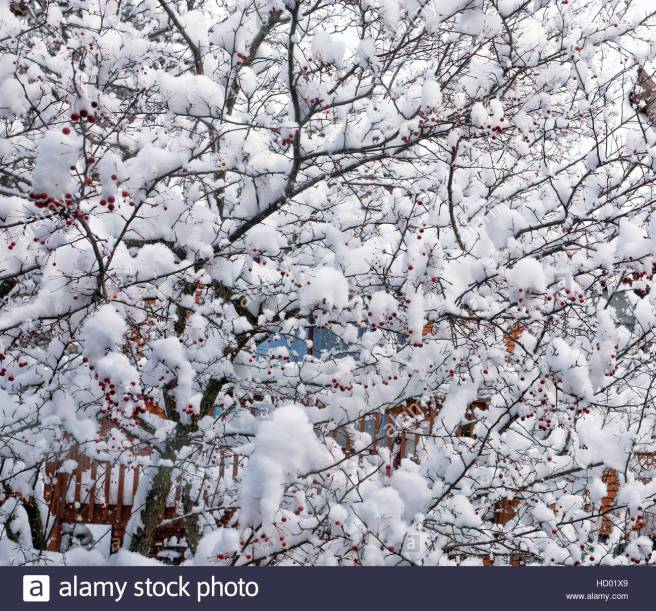 mature-dogwood-tree-in-the-winter-with-snow-covered-leafs-and-red-HD01X9